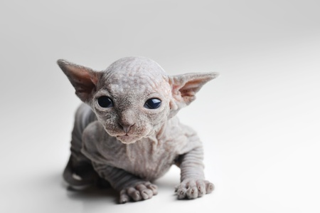 cute bald baby cat very close up Stock Photo - 9313441
