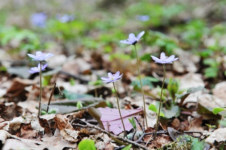 Blossoming hepatica in spring on forest glade photo