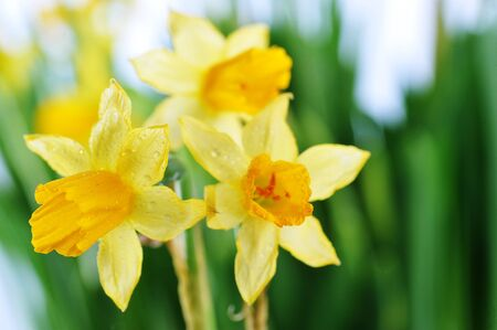 Yellow daffodils with  stems  and leaves in  bunch photo