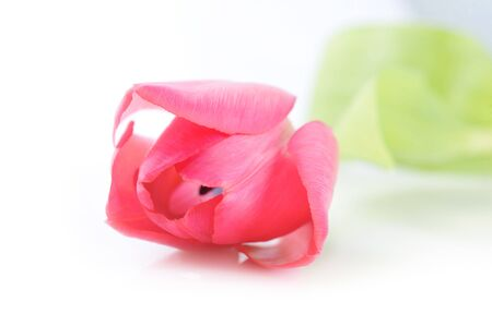 One red tulip isolated close up Stock Photo - 9545920