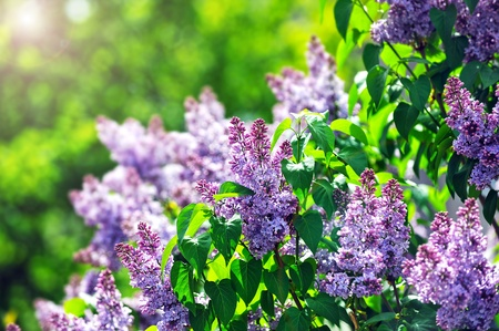 purple lilac: purple lilac bush blooming in  May day. City park