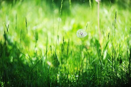 dandelions in spring farm field. close up photo