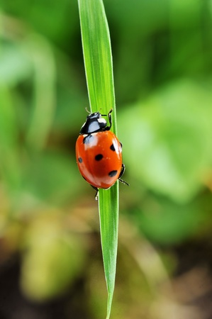 Red ladybird with seven black dots climbing along the blade of  green grass photo