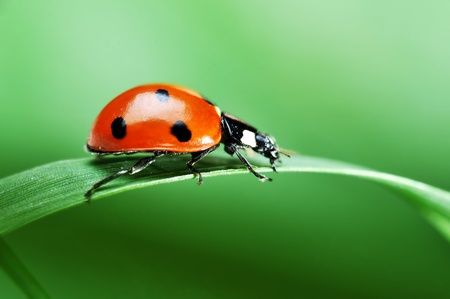 Red ladybird with seven black dots sitting on green grass. Beautiful nature