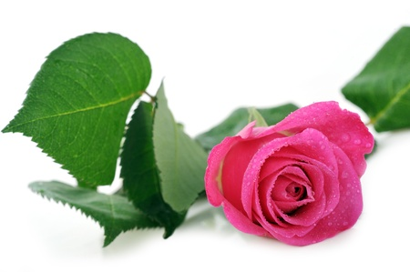 pink rose: beautiful pink rose isolated close up