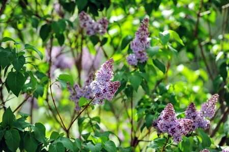 purple lilac bush blooming in  May day. City park Stock Photo - 10605509