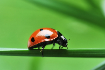 Red ladybird with seven black dots sitting on green grass. Beautiful nature photo