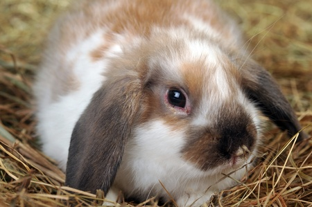 fluffy rabbit lies on soft hay photo