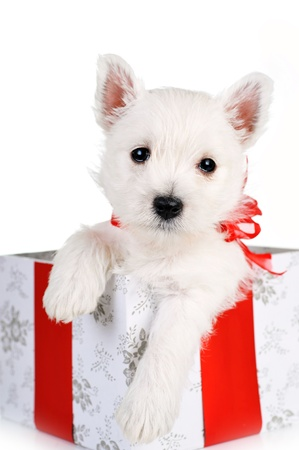 closeup puppy: cute puppy in present box close up Stock Photo