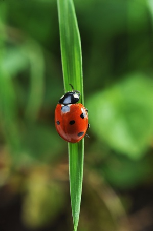 Red ladybird with seven black dots climbing along the blade of  green grass