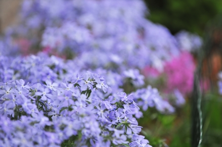 Purple phlox subulata small flowers bloom in late spring stock small flowers bloom in late spring stock photo picture and royalty free image image 14016765 mightylinksfo