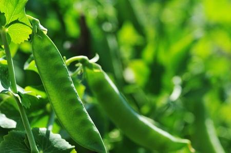plant of pea growing in  garden. pods peas