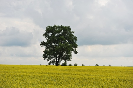 summer day before  storm. single tree on yellow field Stock Photo - 15014809