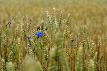 cornflowers in  wheat field in summer day photo