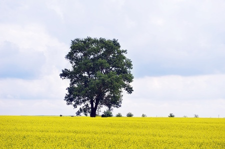 summer day before  storm. single tree on yellow field Stock Photo - 15487451