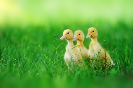 yellow duck: Small ducklings outdoor on green grass
