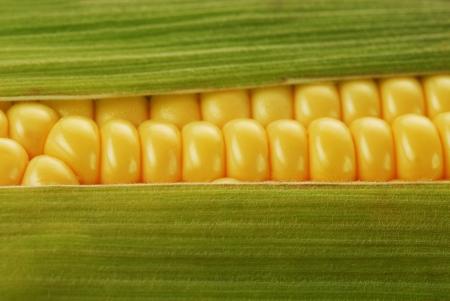 corn yellow: mazorca de ma�z entre hojas verdes Foto de archivo