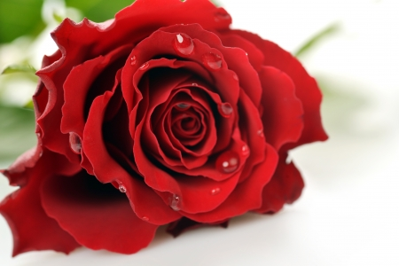 Beautiful red rose close up on white background photo