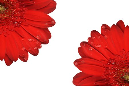 red gerbera flower close up  background photo