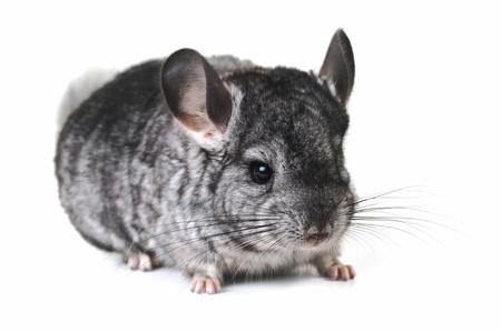 chinchilla: Grey nice chinchilla on  white background