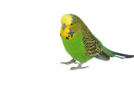 closeup portrait of  budgerigar on white photo