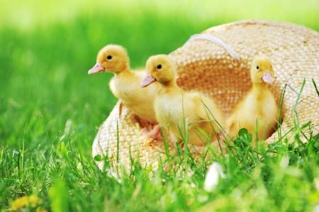 three cute fluffy  ducklings sitting in straw hat