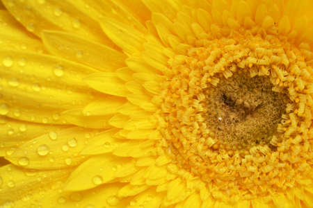 yellow gerbera flower close up background photo