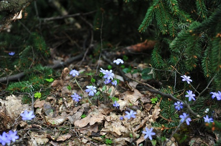 hepatica: Blossoming hepatica in spring on forest glade