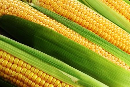 ear corn: mazorca de ma�z entre hojas verdes Foto de archivo