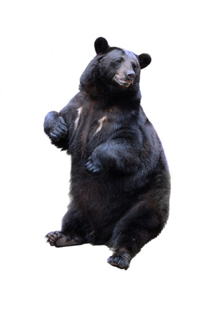 schwarzer Bär isoliert auf weiß Lizenzfreie Bilder