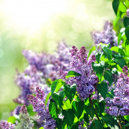 purple lilac bush blooming in May day. City park photo