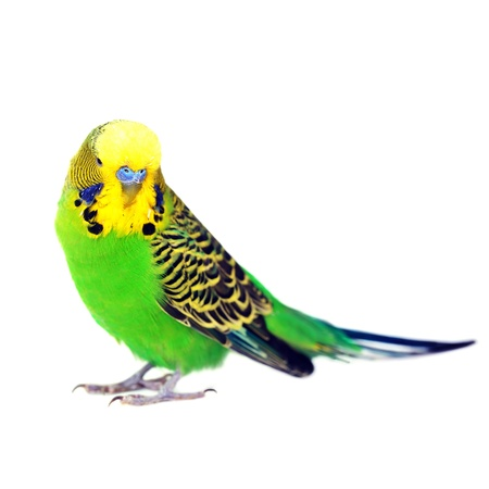 close-up portrait of  budgerigar on white photo