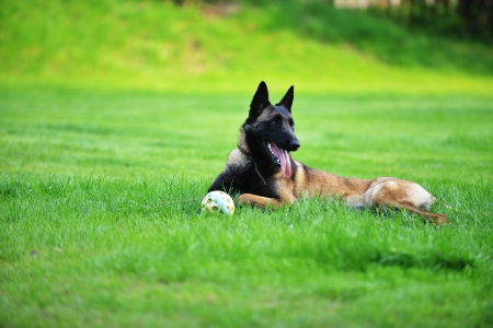 Dog Belgian malinois lies on grass photo