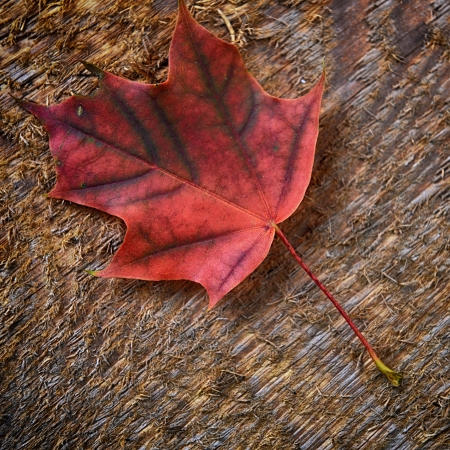 Autumn  colorful leaf of maple over wooden background  photo