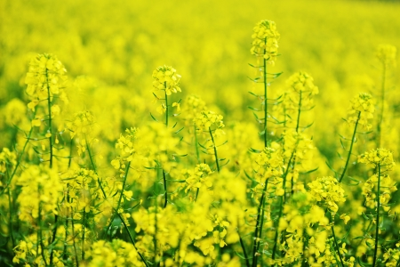 bright yellow colza field. summer's day photo