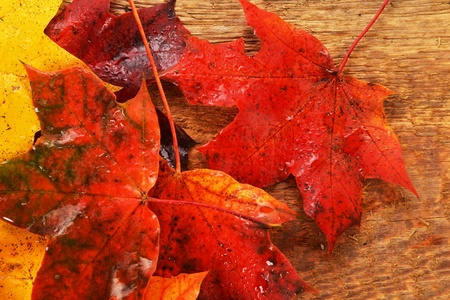 Autumn wet colorful leaves  of maple. texture photo