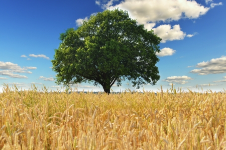 corn field: tree and wheat crops plant field in summer day