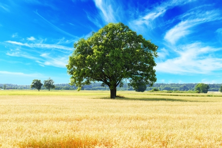 tree and wheat crops plant field in summer day photo