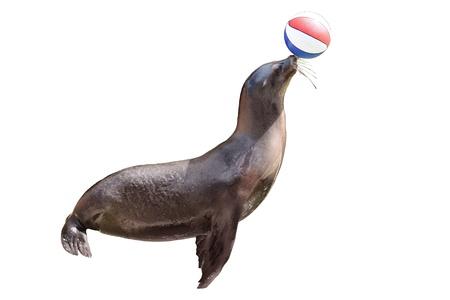 ausgebildete Seebär mit Ball spielen auf der Bühne