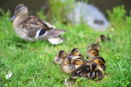 Mallard duck and her ducklings on  bank of  river photo