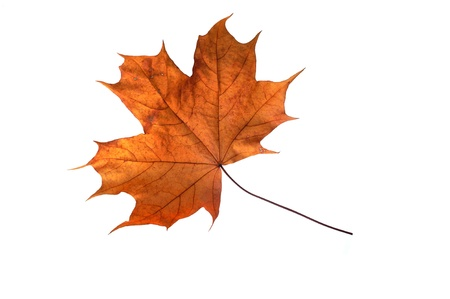beautiful autumn colour leaf isolated on white background photo