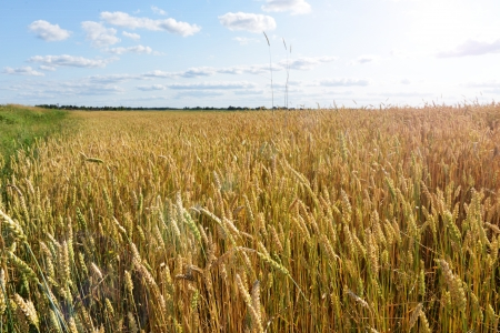 wheat crops plant endless field in summer day photo