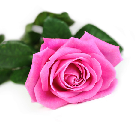 single rose: beautiful pink rose isolated close up