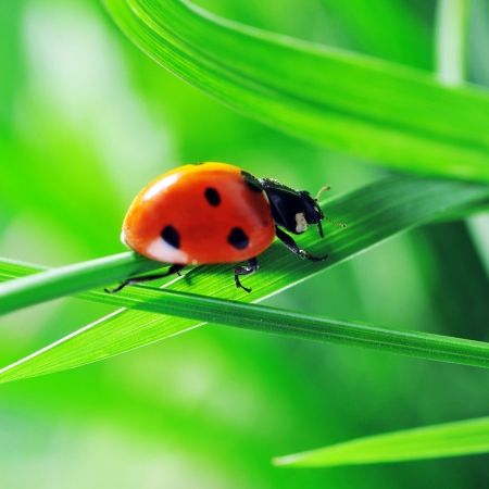 Ladybug running along on blade of  green grass. Beautiful nature photo