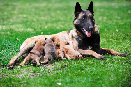 brood: female dog of belgian shepherds malinois  with puppies
