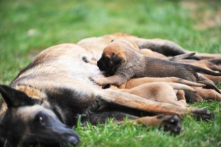 breastfeed: perra de pastores belgas malinois con cachorros Foto de archivo