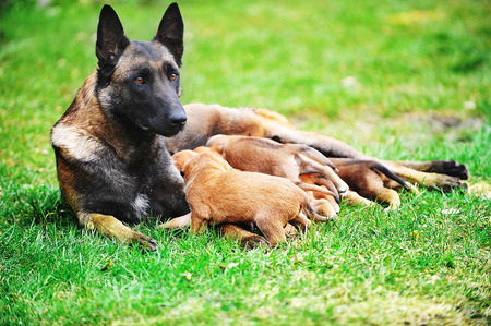 suckle: female dog of belgian shepherds malinois  with puppies
