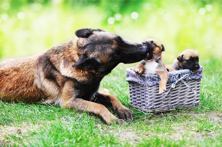 puta: perra de pastores belgas malinois con cachorros Foto de archivo