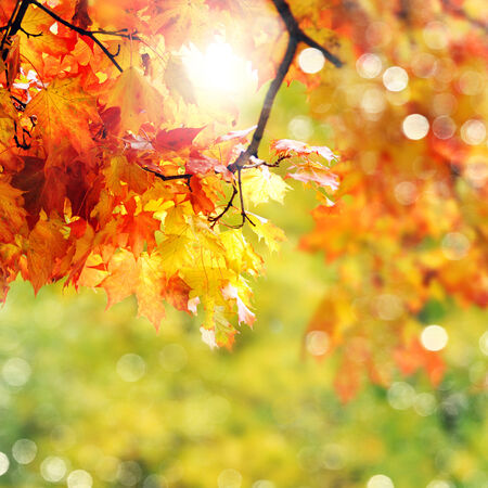 maple tree: beautiful colorful autumn  leaves in the park