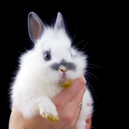 hadns holding small rabbit isolated on black background photo